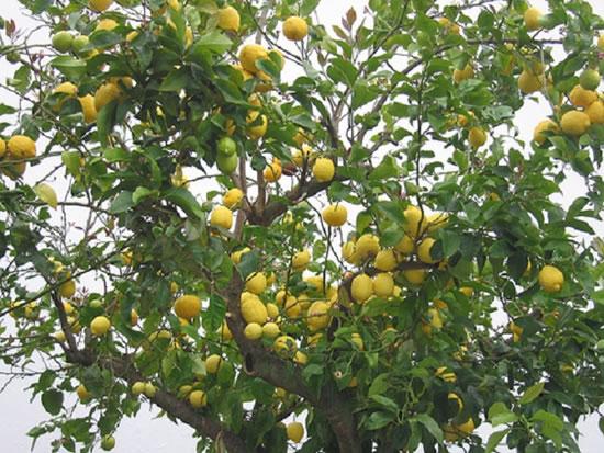 cuidados básicos para plantar un limonero