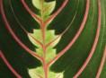 imagen Maranta, planta tropical