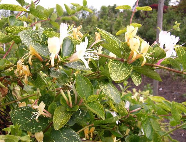 Lonicera japonica AureoReticulata 1