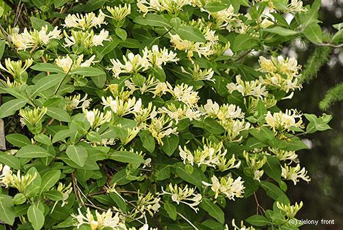 Lonicera japonica AureoReticulata 2