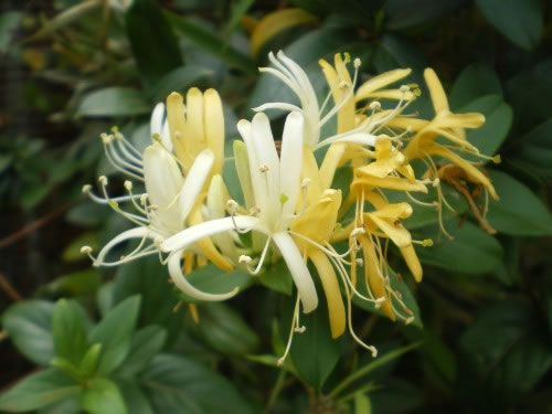 Lonicera japonica Madreselva 2