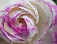 imagen Ranúnculos, bulbos de flor