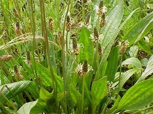 diagnostico por hierbas silvestres 1