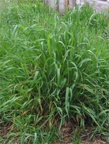 diagnostico por hierbas silvestres 3