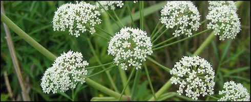 Conceptos sobre plantas venenosas for Concepto de plantas ornamentales