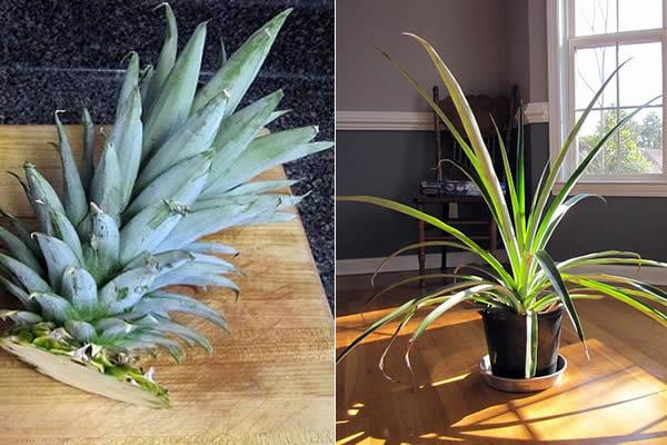 cultivando piña en casa