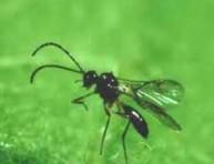 imagen Más insectos aliados del jardinero