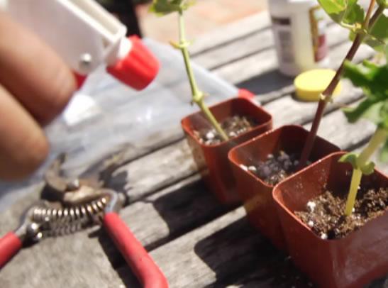 Pasos para reproducir geranios 4
