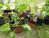 imagen Un huerto cultivado en macetas