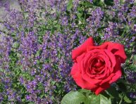 imagen Plantas colaboradoras del rosal