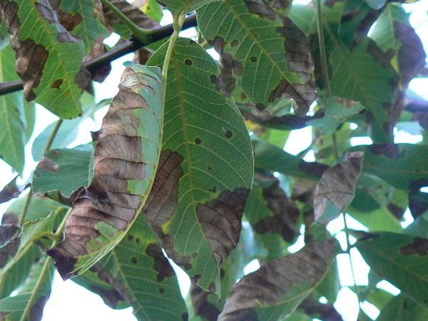 Enfermedades antracnosis y su control - Enfermedades de las plantas de interior ...