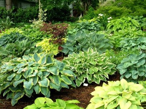 Planta hostas en tu jard n for Hierba jardin