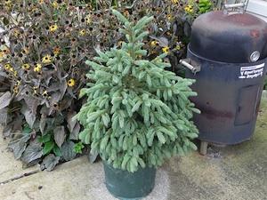 Plantar coníferas en el jardín 1