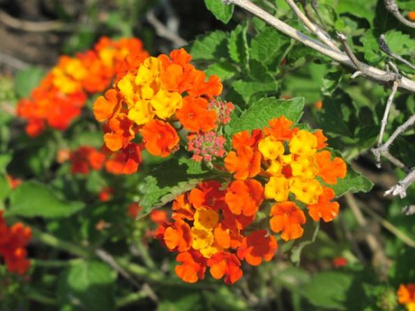 Plantas colaboradoras del rosal 6