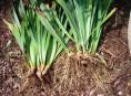 imagen Reproducción por división de matas o rizomas