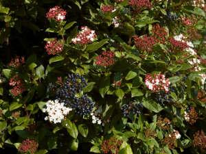 arbustos de hoja perenne