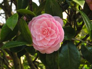 Arbustos de hoja perenne for Arboles para veredas hojas perennes