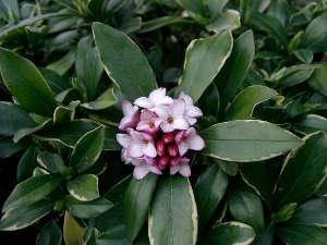 Arbustos de hoja perenne - Arbustos perennes con flor ...