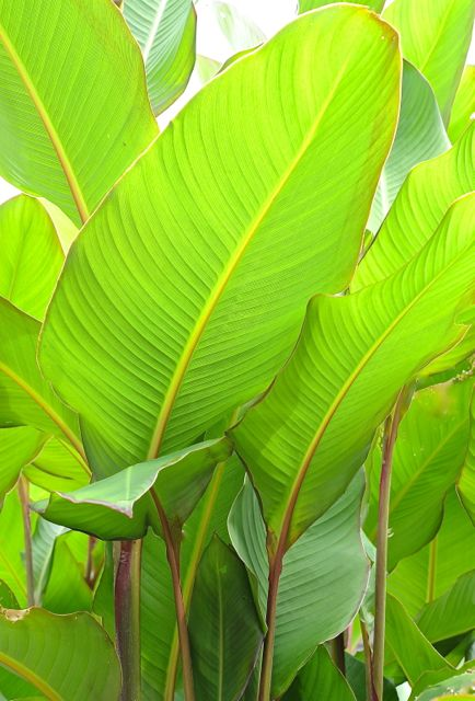 La canna musifolia for Planta tropical interior