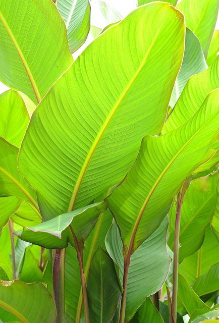 La canna musifolia for Plantas de interior hojas grandes
