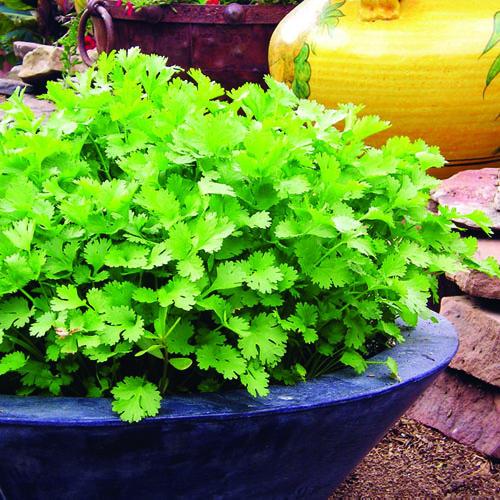 cilantro fresco durante más tiempo 1