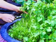 imagen Para tener cilantro fresco durante más tiempo