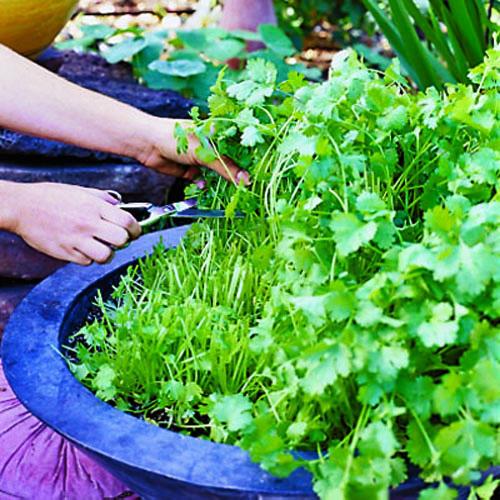 cilantro fresco durante más tiempo 2