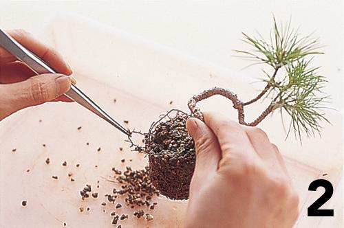 Cómo montar un keshiki bonsai3