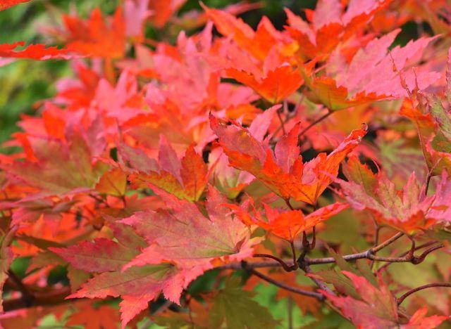 Rboles con color de oto o gu a de jardiner a for Arboles que no se le caen las hojas en invierno