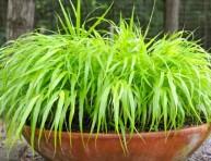 imagen Hakonechloa: una herbácea japonesa