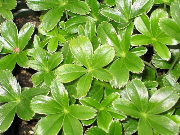 Plantas tapizantes 2
