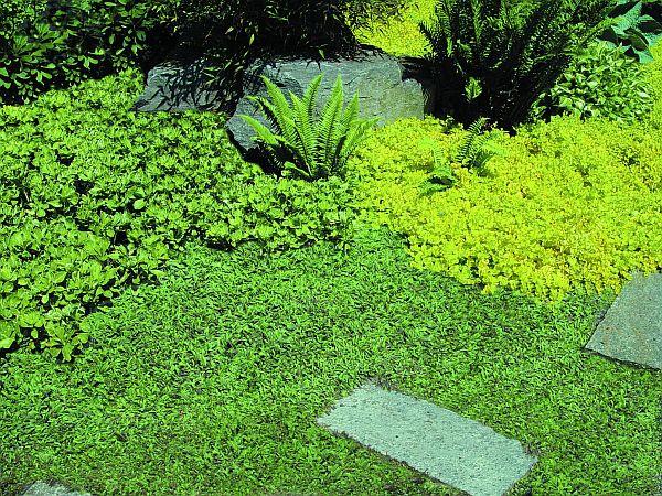 Plantas tapizantes 3