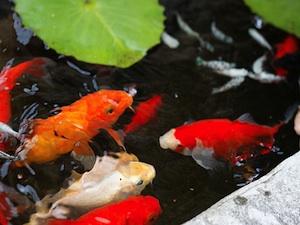 Mantenimiento de los estanques de jard n - Bac pour poisson exterieur ...