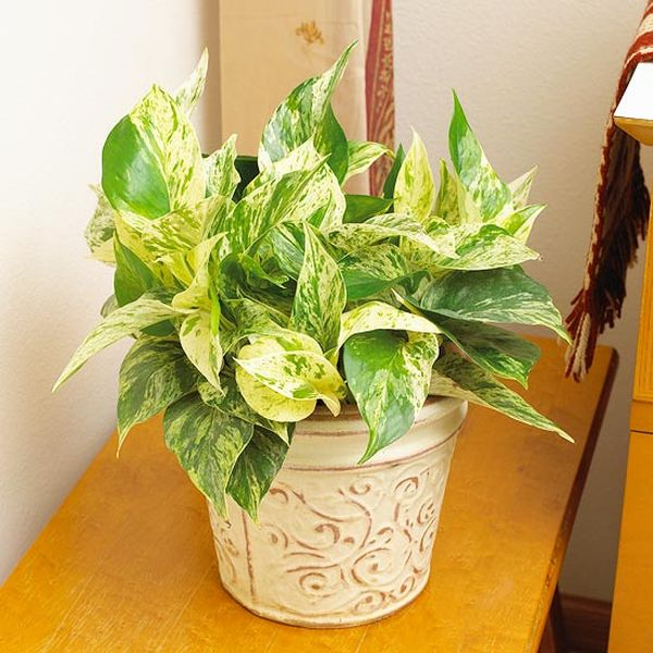 Plantas de interior resistentes for Fotos de plantas de interior