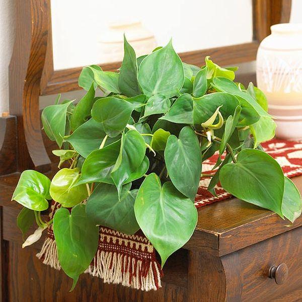 Plantas de interior resistentes for Plantas de interior muy duraderas