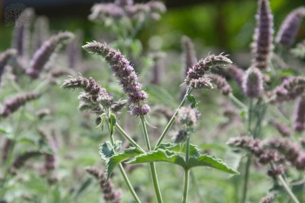 Plantas contra mosquitos 2