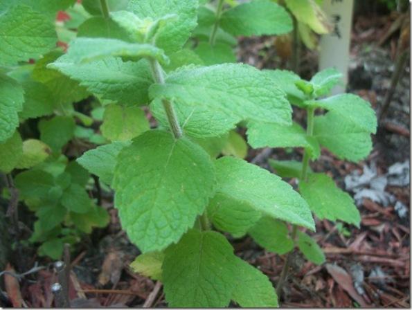 Cortar las hierbas aromáticas 1