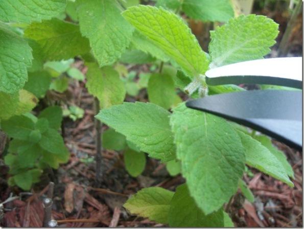 Cortar las hierbas aromáticas 2