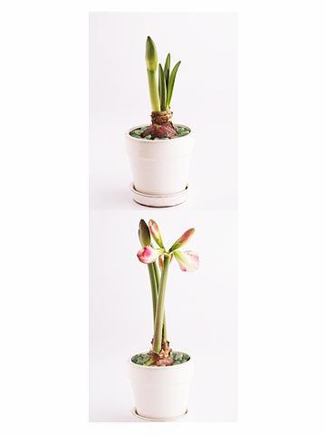 Cultivo y cuidado de amaryllis 1