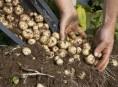 imagen Cultivo de patatas en contenedor
