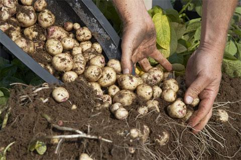 Cultiva patatas en contenedor 5