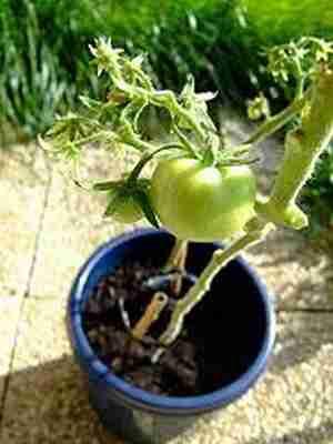 Cultivo de verduras y hortalizas en maceta for Plantas hortalizas ejemplos