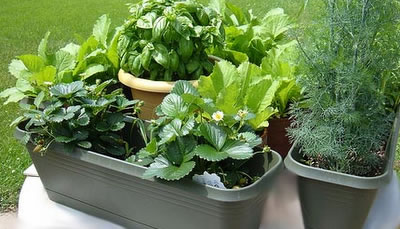 Cultivo de verduras y hortalizas en maceta for Huerta de aromaticas en macetas