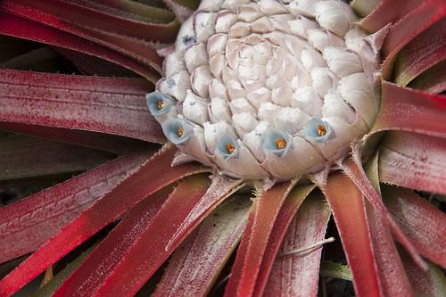 Fascicularia bicolor 1