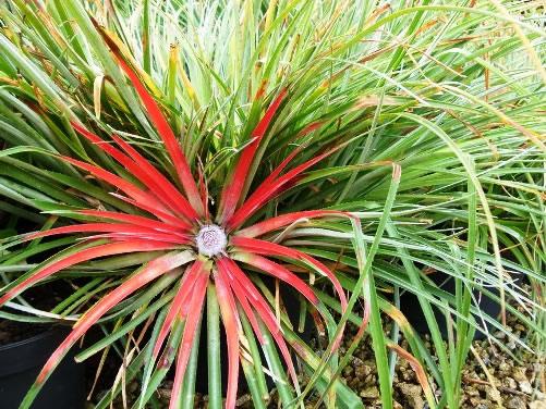 Fascicularia bicolor 3