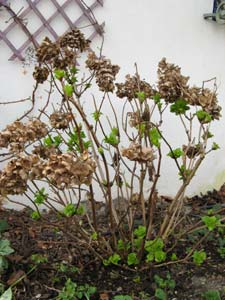 Poda de la hortensia 1