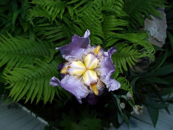 Reproducción de los iris 1