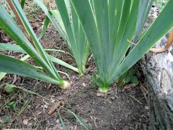 Reproducción de los iris 2