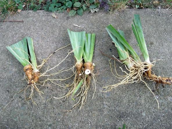 Reproducción de los iris 3