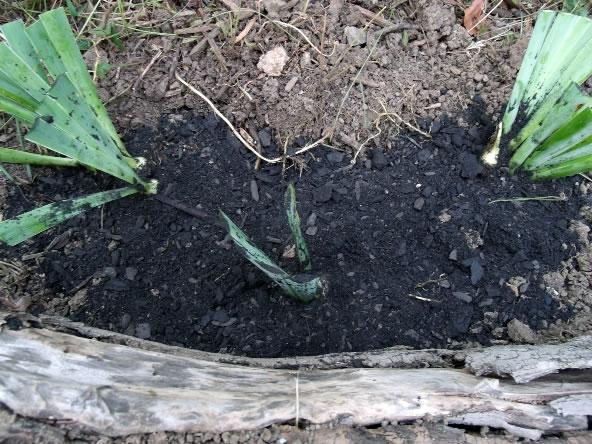 Reproducción de los iris 5